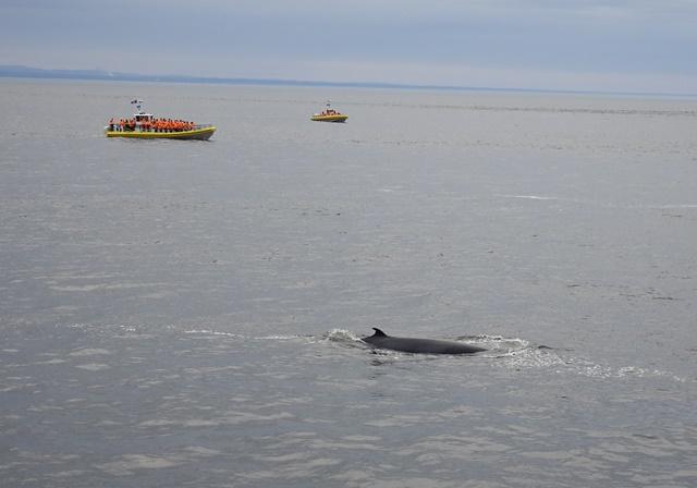 Tadoussac, Sankt Lorenz Strom, Whale Watching, Kanada
