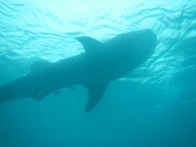 Oslob, Philippinen, Walhai, Schnorcheln