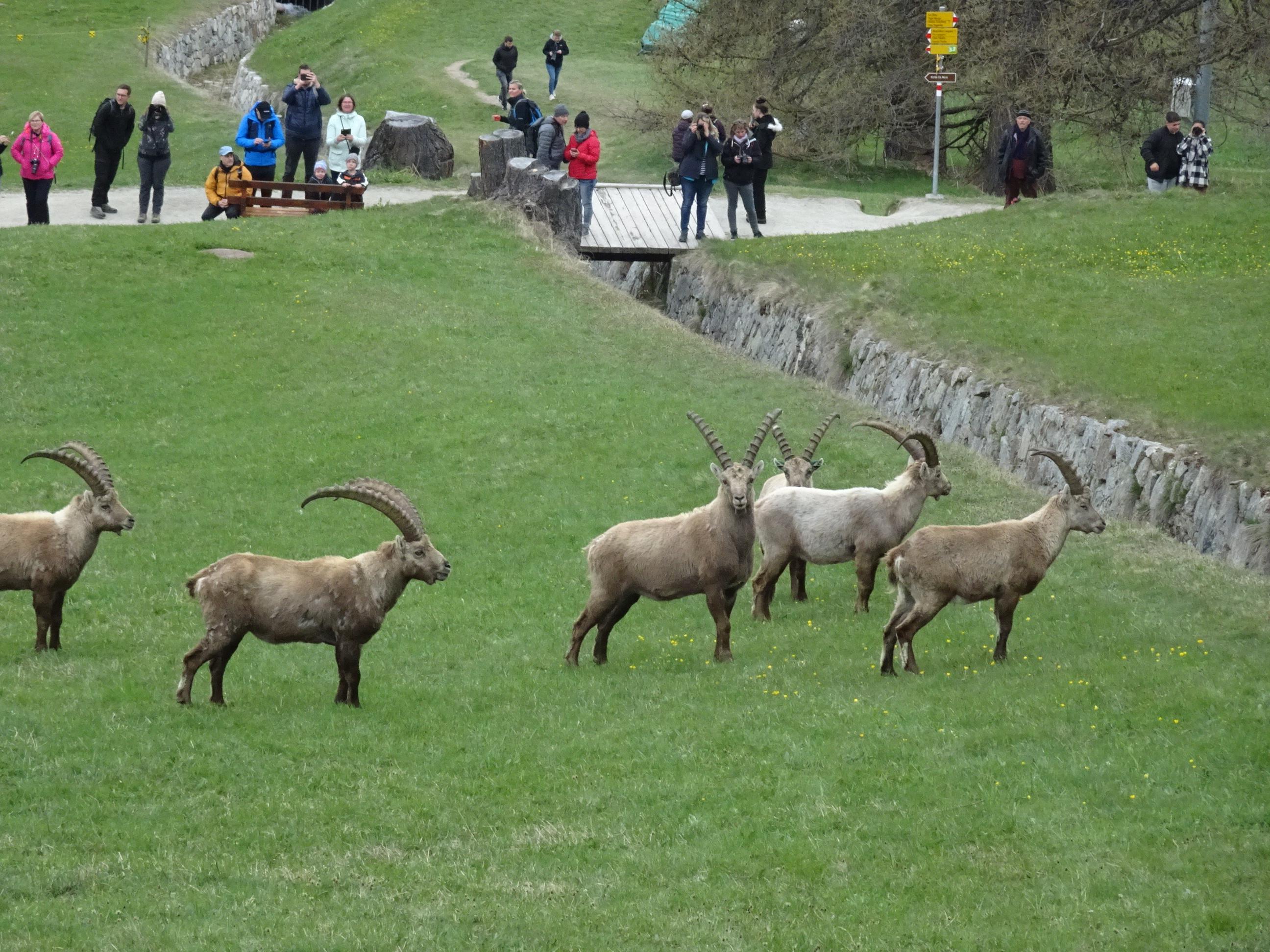 Steinböcke, Pontresina, Engadin, Graubünden, Schweiz